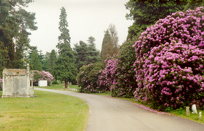 Rhododendrons at Brookwood Cemetery